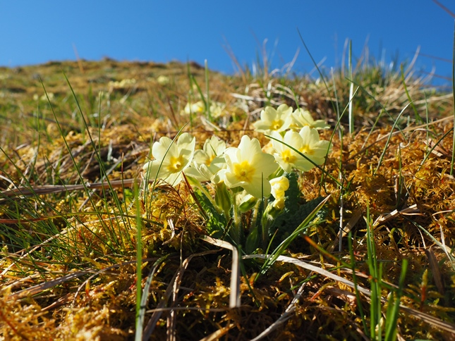 Primroses in the upper reaches of Cosh Beck
