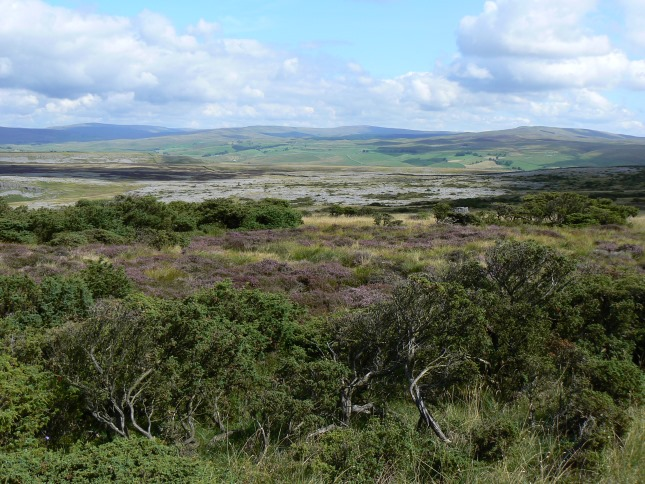The juniper forest on Moughton