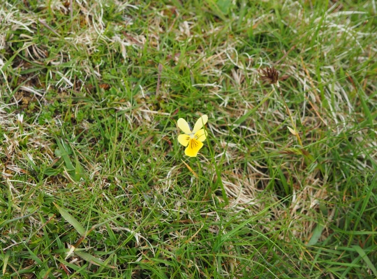A yellow mountain pansy on Woldside