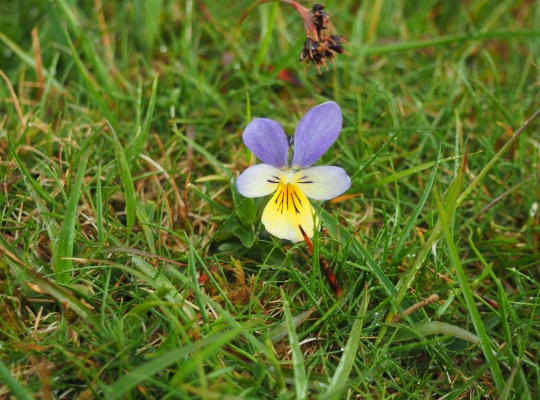 One of the numerous mountain pansies growing around the summit of Birkett Hill