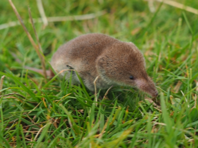 The friendly shrew my daughter and I met near Conistone Pie