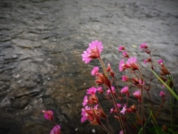 Red campion alongside the River Aire