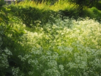 Cow parsley on Kirk Syke Lane