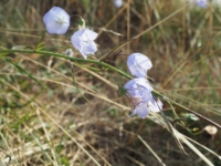 Harebells growing on Castlehaw