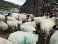 Negotiating the sheep at Lockbank Farm