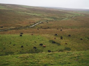 The cattle I avoided on Gorbeck Road
