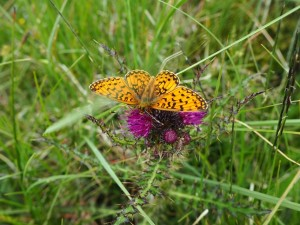 A Pearl-bordered Fritillary