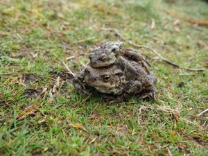 A pair of toads above the reservoir