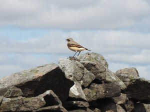 A wheatear who accompanied us along the wall