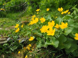 Marsh marigolds alongside the lane into Thoralby