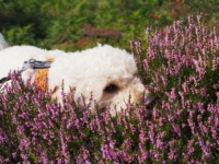 Barry enjoying the smell of the heather