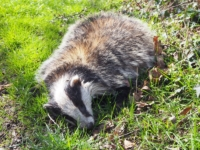 The dead badger I passed on Jordan Lane