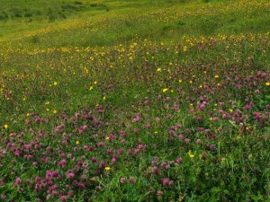 A flower meadow in the Oughtershaw valley