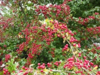 A profusion of berries