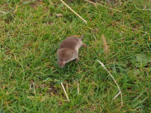 Another photo of the shrew
