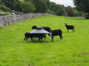 Some Zwartbles sheep outside Conistone