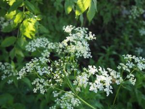 Cow Parsley on Swinden Lane