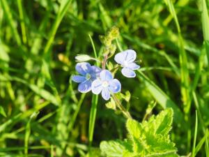 Germander Speedwell
