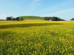 More buttercups looking up to Swinden hill