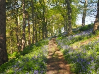 The lovely bluebell strewn path at the top of the woods