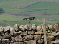 Another oystercatcher