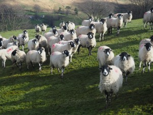 Sheep above Hollybush