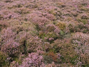 Heather on Low Bradley Moor