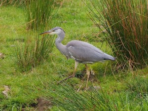 The photo friendly heron