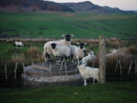 Some lambs playing