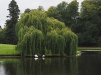 A lovely willow tree next to the Half Moon Pond
