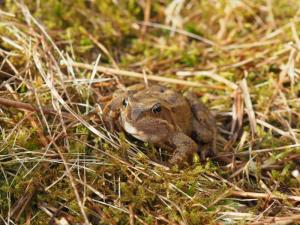 A common frog on Knowe Fell