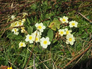 Primroses, the first I've seen this year