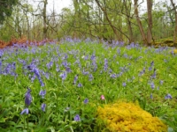 Bluebells in Grass Wood