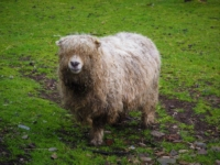 One of the long haired sheep we saw
