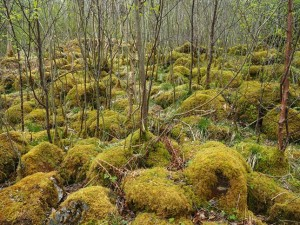 More mossy limestone in Grass Wood