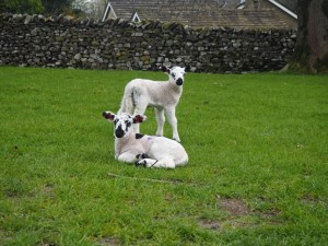 A pair of lambs in the car park