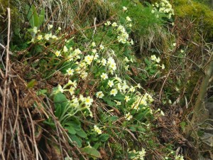 Primroses growing on the steep bank below Great Force