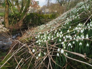 Snowdrops in Kettlewell