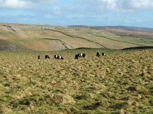 Some Belted Galloways above Watlowes