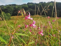 The sickly sweet smell of the invasive Himalayan Balsam was an early feature of the walk