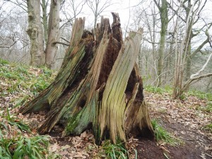 An unusual tree stump