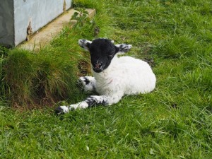 A lovely little lamb