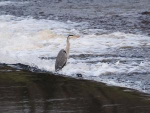 A heron on the weir below Addingham