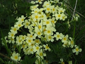 Primroses on Hebblethwaite Hall Lane