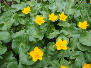 Marsh Marigolds before Hebblethwaite Hall