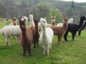 I didn't expect to see alpacas on the walk