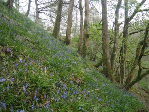 Bluebells in Hebblethwaite Hall Gill