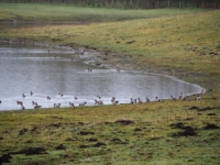 Some of the many wigeon we saw