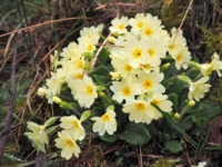 Some primroses growing by the waterfall