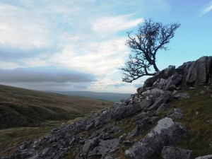 A solitary hawthorn on the edge of White Scars